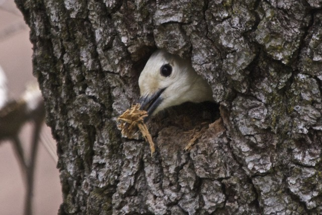 White-headed Woodpecker excavating nest cavity.
