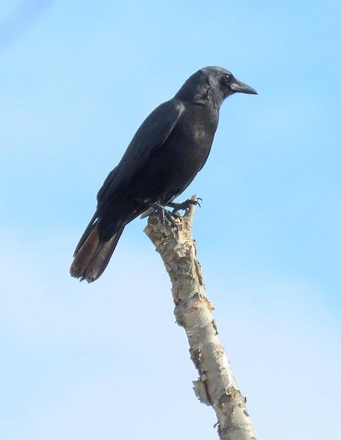 American Crow