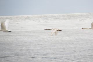 Mute Swan, ML186168121