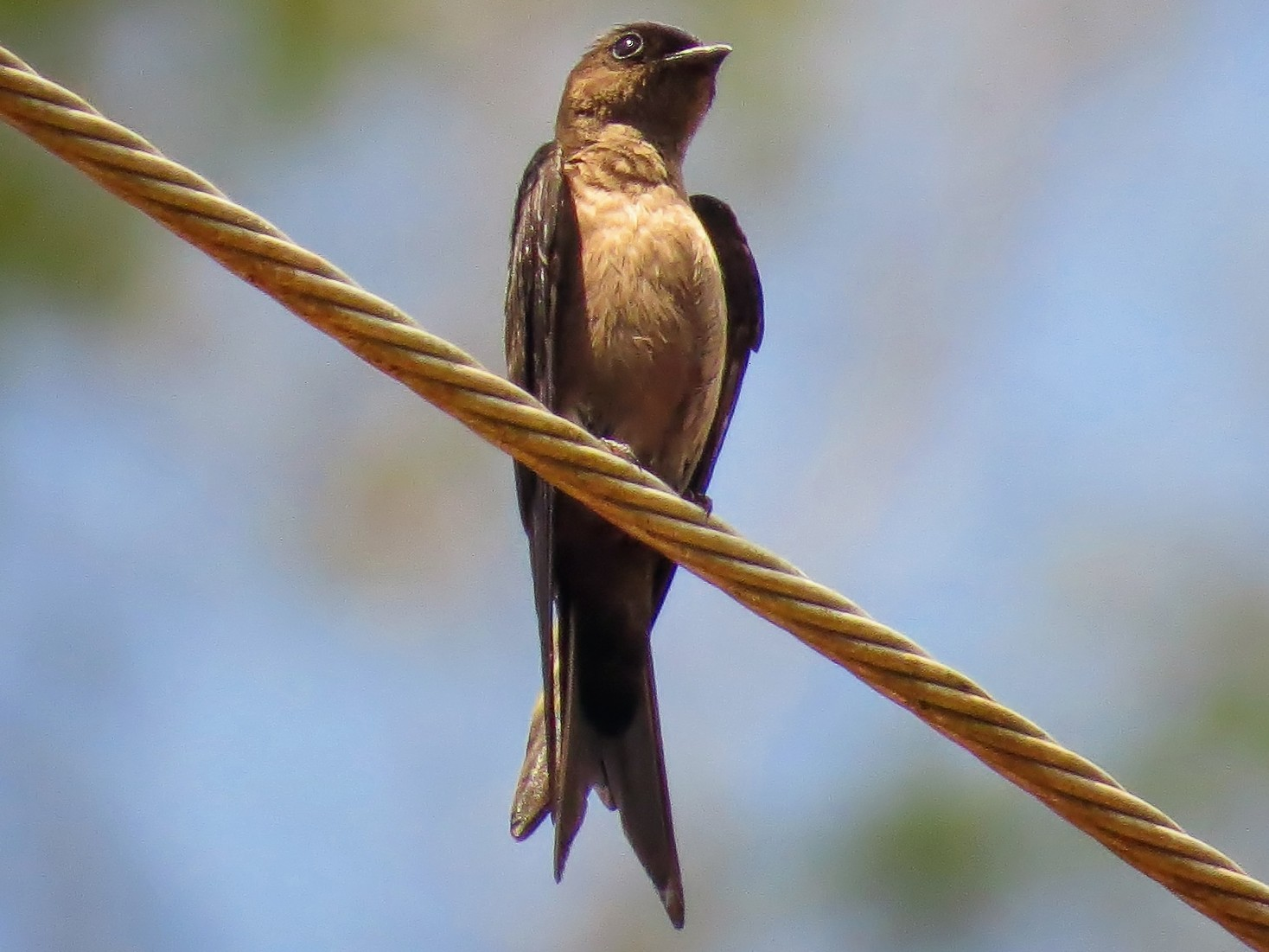 White-thighed Swallow - Priscilla Diniz