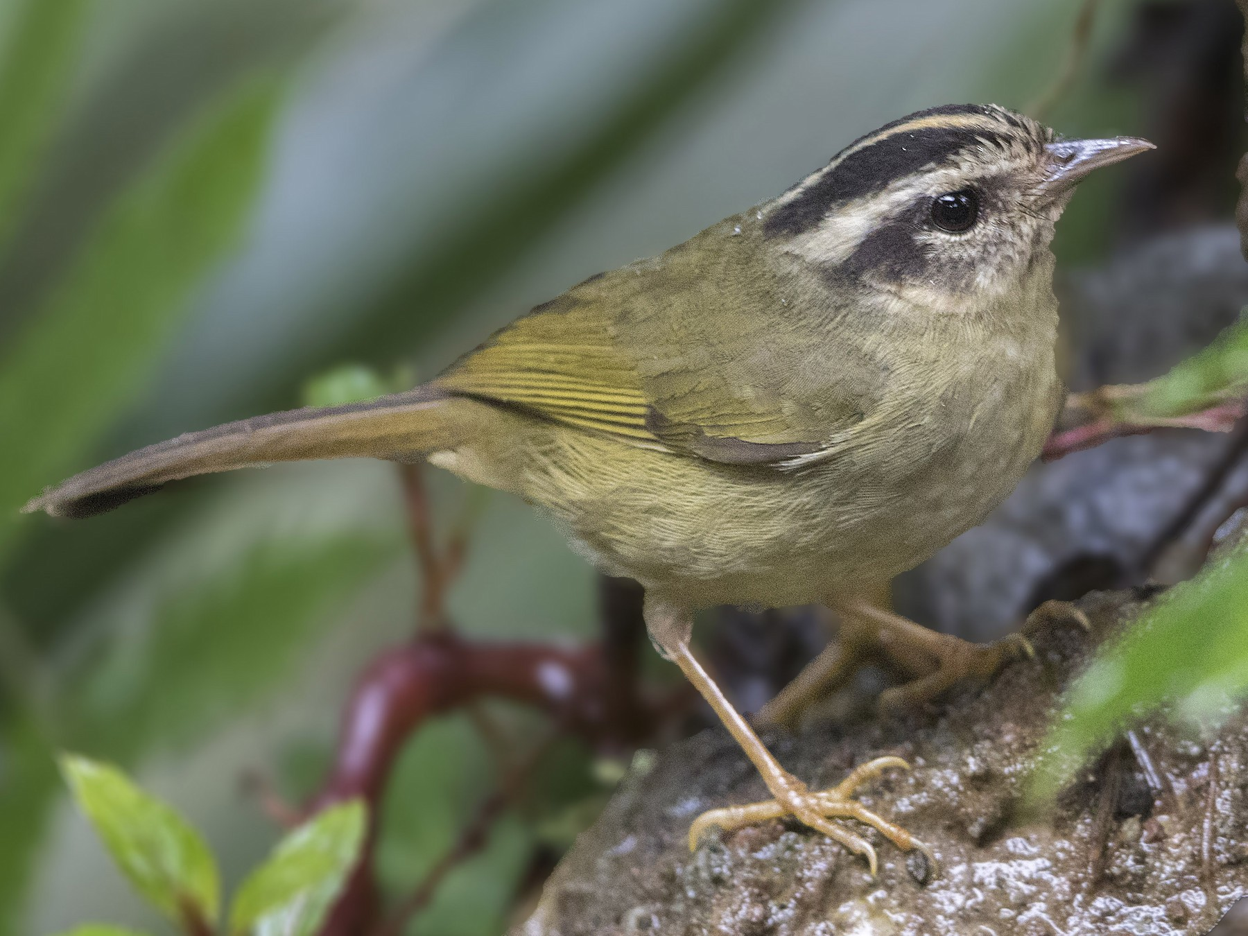 Three-striped Warbler - Bradley Hacker