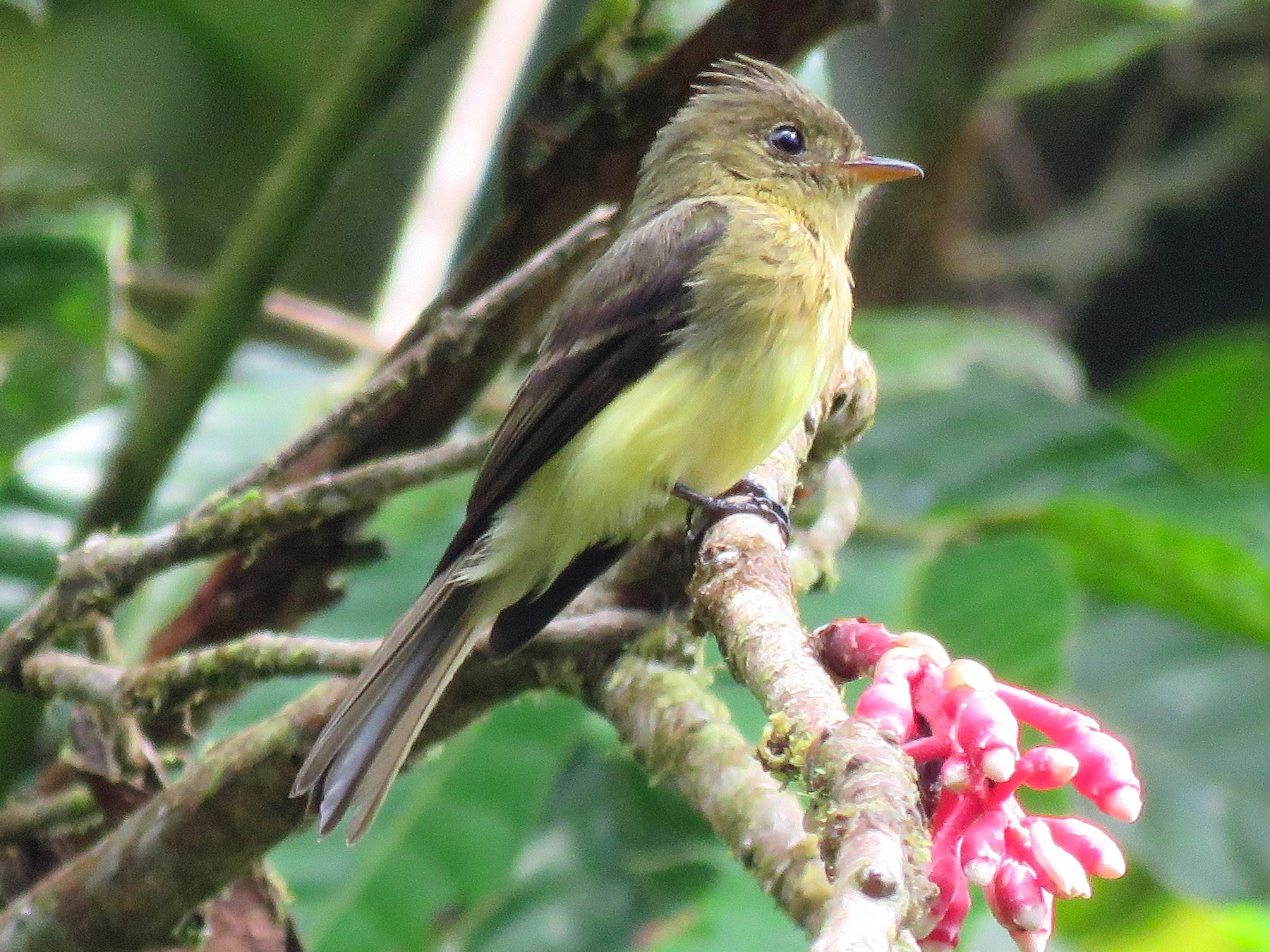 Tufted Flycatcher - Timothy Forrester
