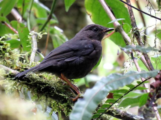 Slaty-backed Nightingale-Thrush (Slaty-backed)