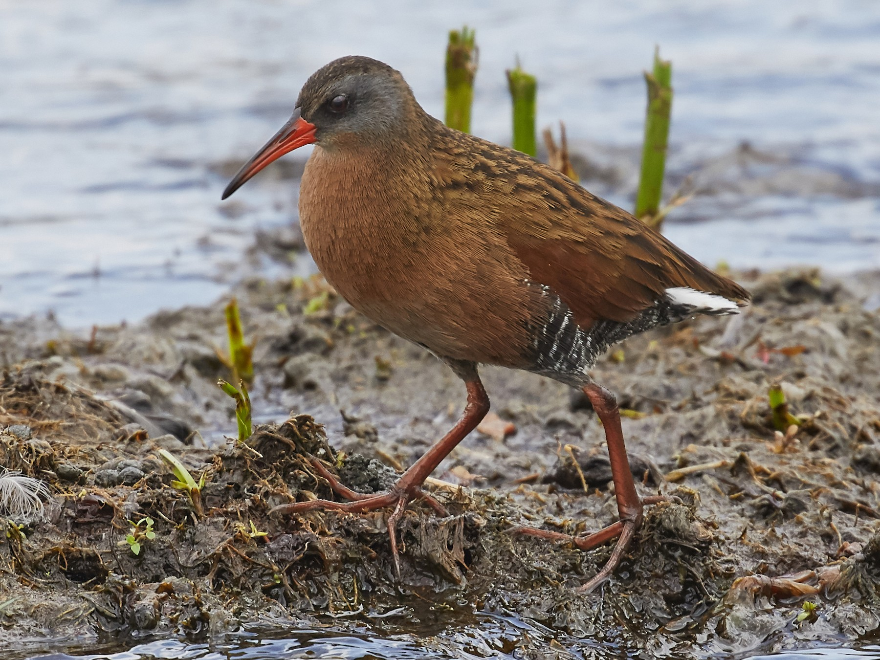 Virginia Rail - Brooke Miller