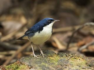 - Siberian Blue Robin