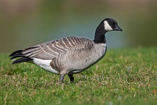 Cackling Goose, ML186424511
