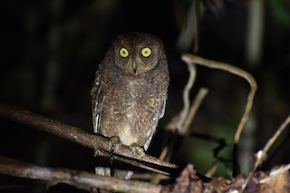 - Nicobar Scops-Owl