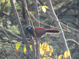 - Red-winged Laughingthrush
