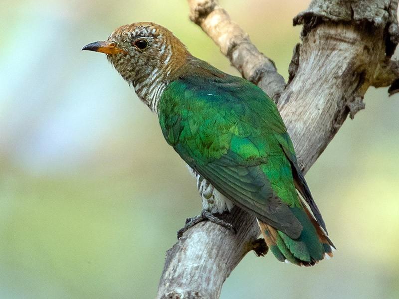 Asian Emerald Cuckoo - Ayuwat Jearwattanakanok