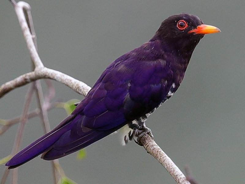 Violet Cuckoo - Francis Yap