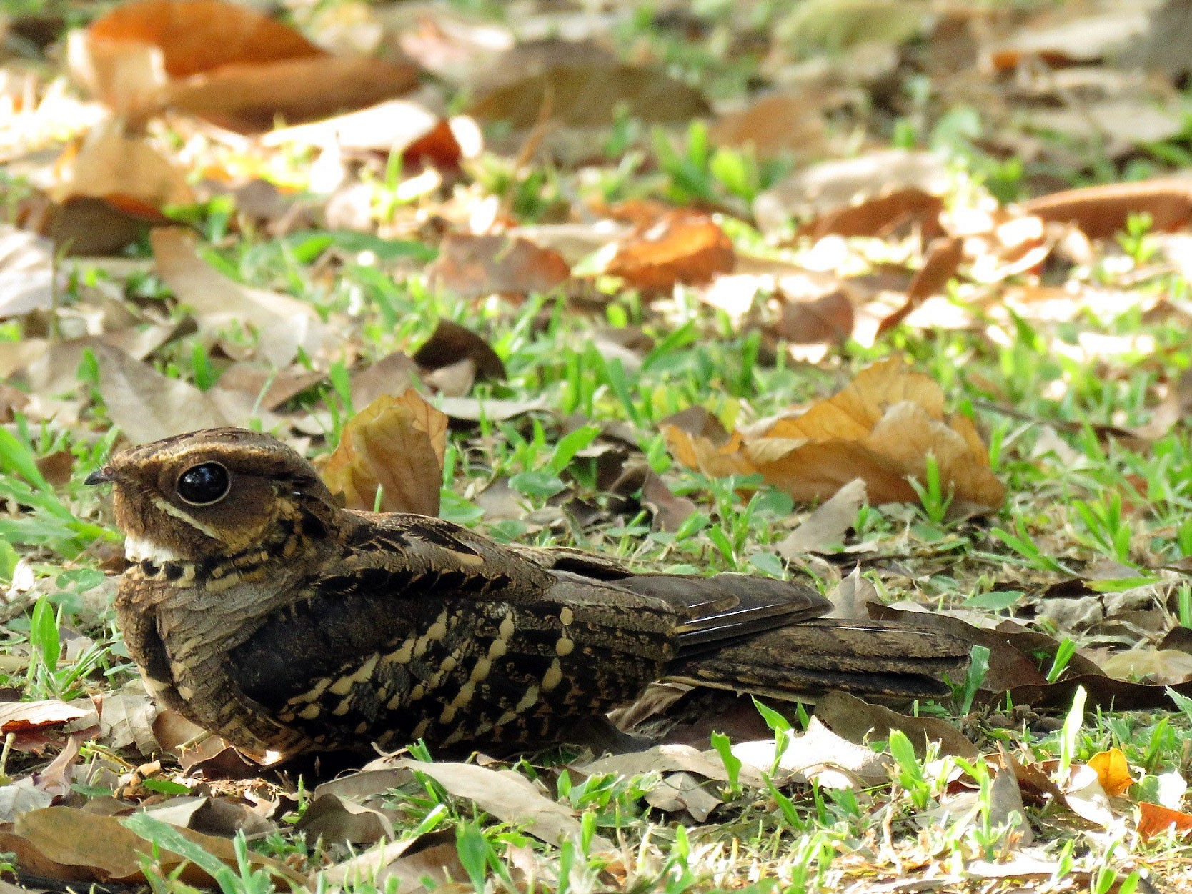 Large-tailed Nightjar - Angela Christine Chua