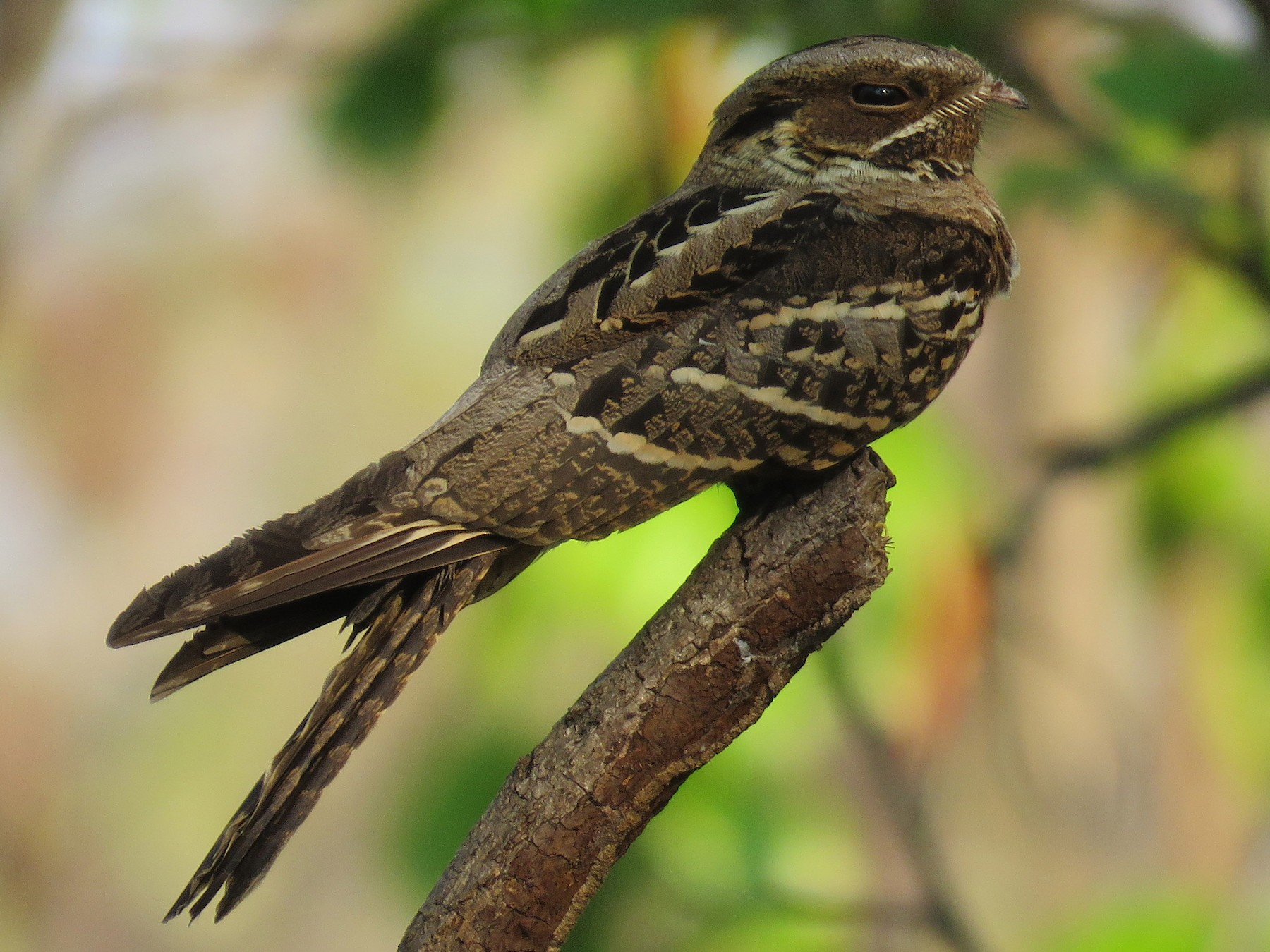 Large-tailed Nightjar - Tun  Oo