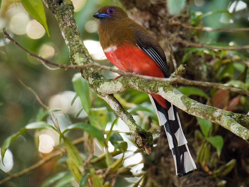 Red-headed Trogon - Wich'yanan (Jay) Limparungpatthanakij