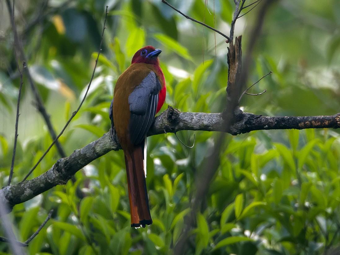 Red-headed Trogon - Soar Excursions