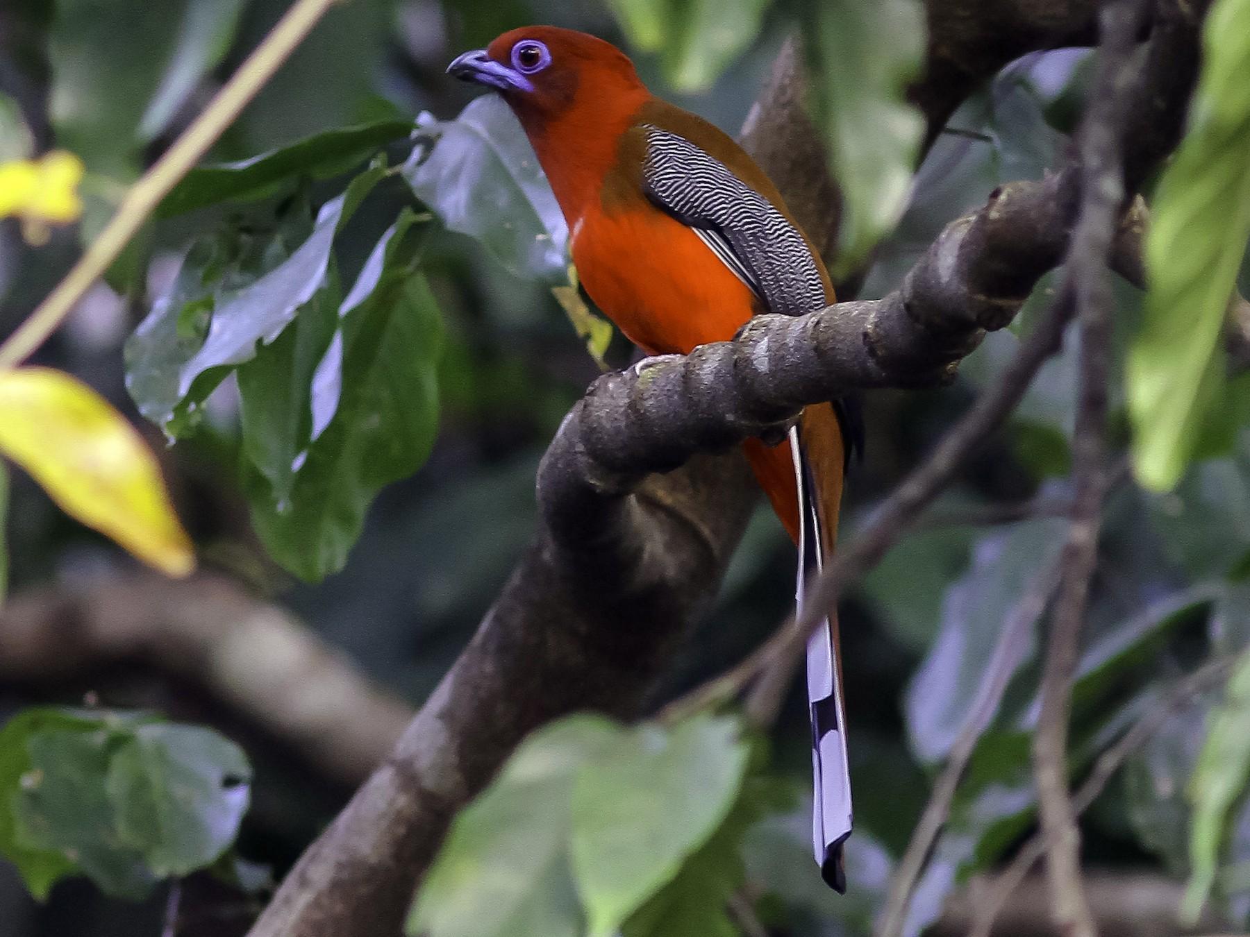 Red-headed Trogon - Sayam  Chowdhury
