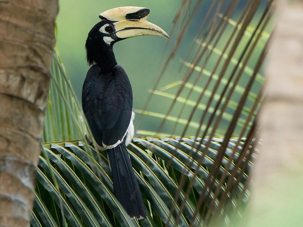 Oriental Pied-Hornbill - Ayuwat Jearwattanakanok