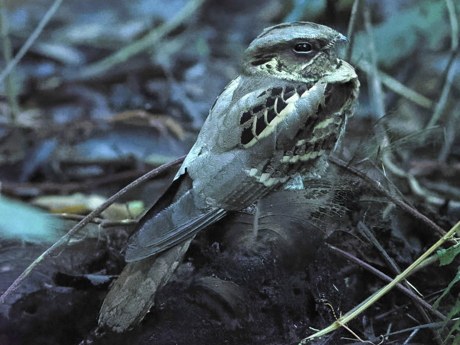 Large-tailed Nightjar - Debasish Tapna
