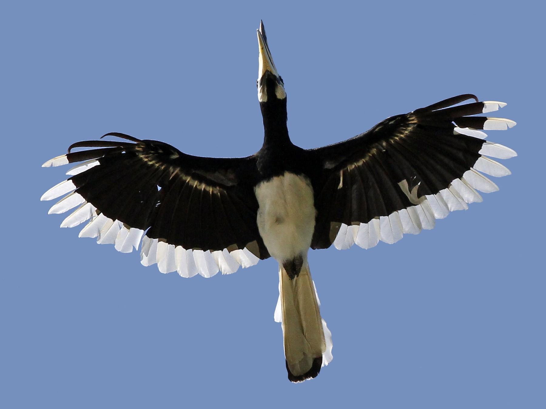 Oriental Pied-Hornbill - Christoph Moning