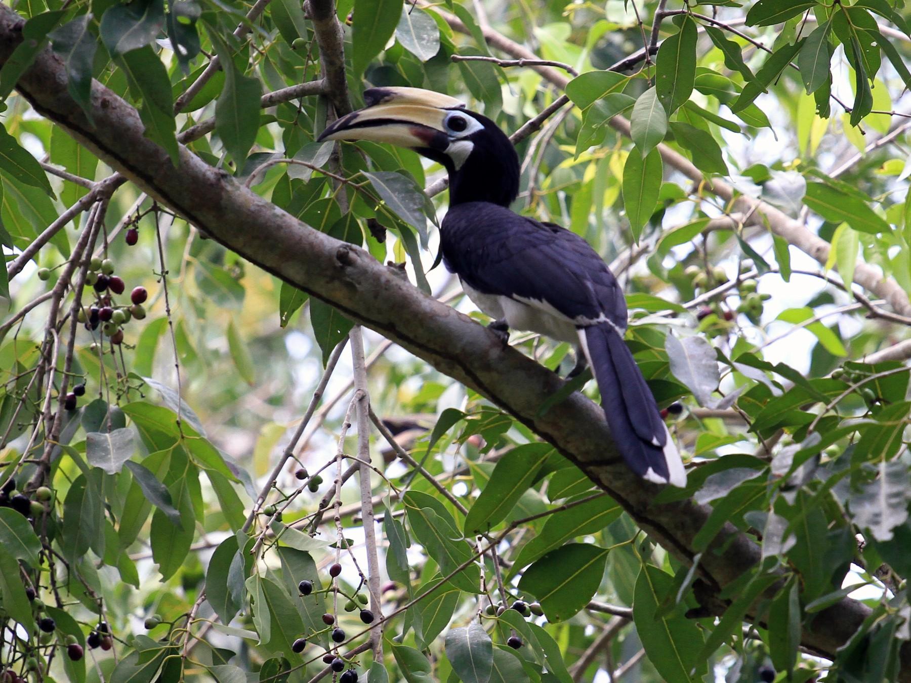 Oriental Pied-Hornbill - Paul Gössinger