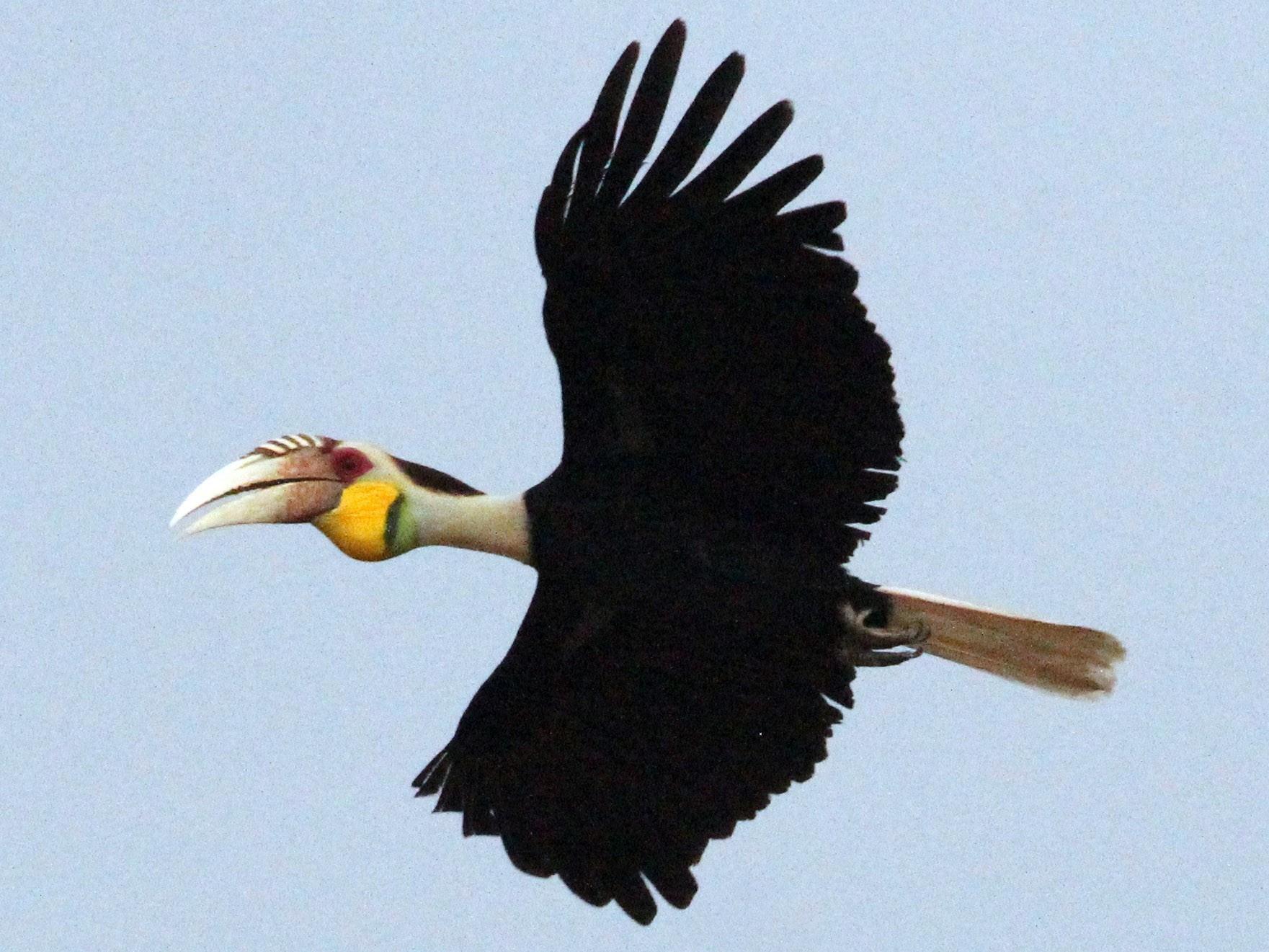Wreathed Hornbill - Robert Gowan
