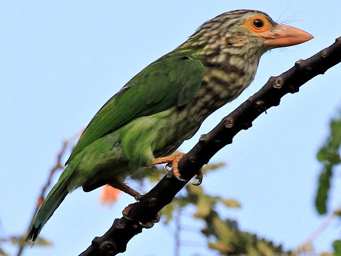Lineated Barbet - Steven Cheong