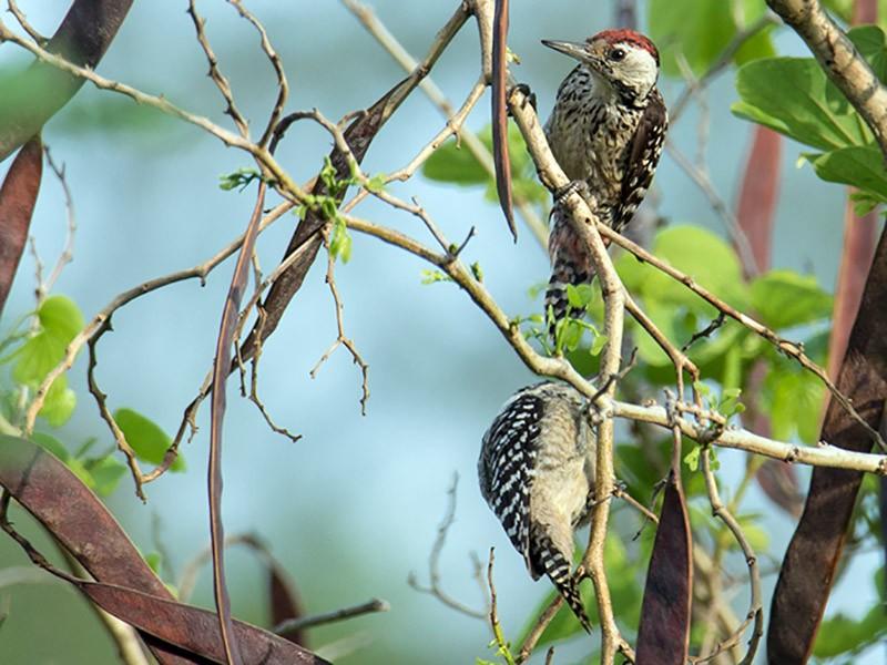 Freckle-Breasted Woodpecker Bird Dendrocopos macei analis Skeleton Real Preserved Taxidermy Bones Skull