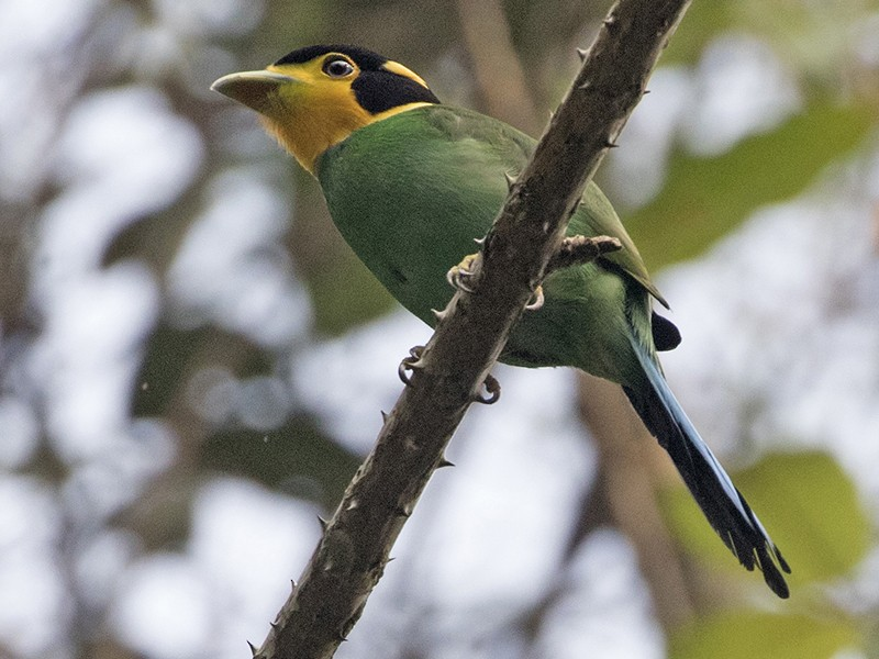 Long-tailed Broadbill - Charley Hesse TROPICAL BIRDING