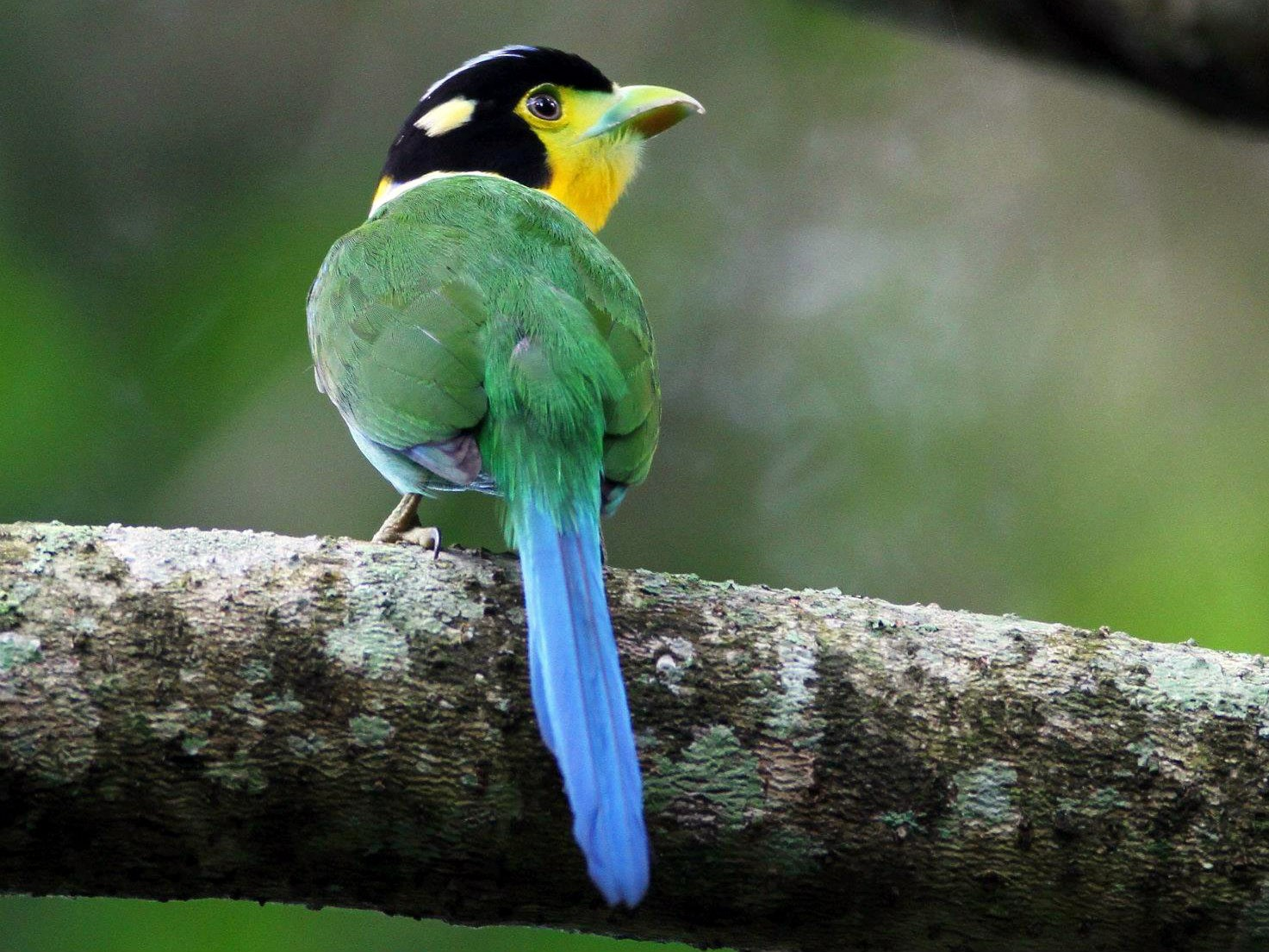 Long-tailed Broadbill - Ting-Wei (廷維) HUNG (洪)