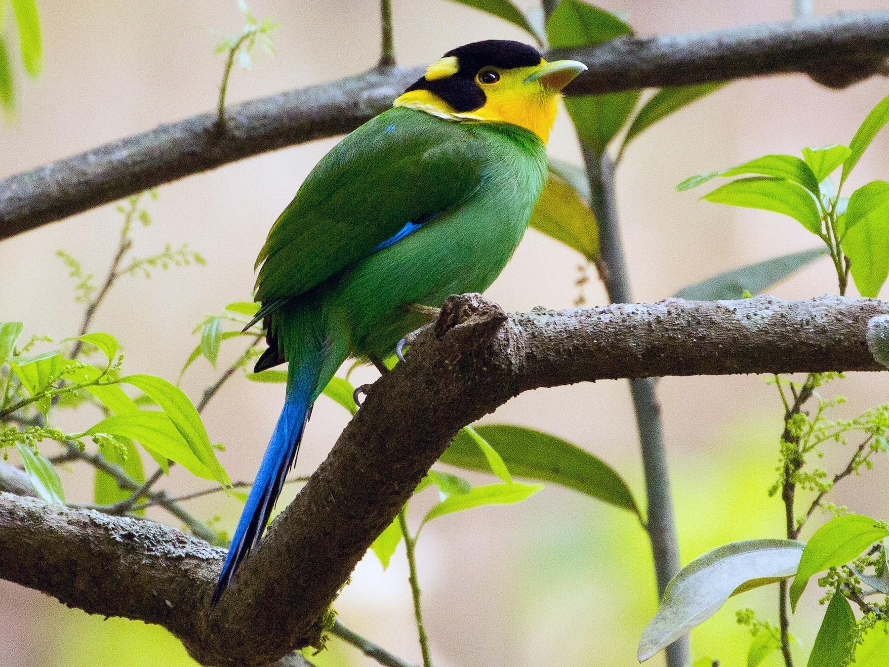 Long-tailed Broadbill - Santosh Singh