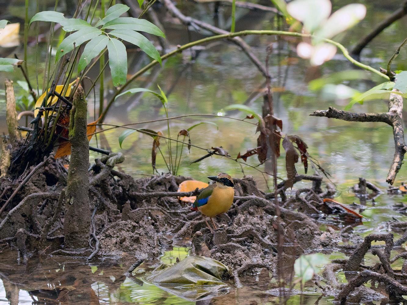Mangrove Pitta - Ayuwat Jearwattanakanok