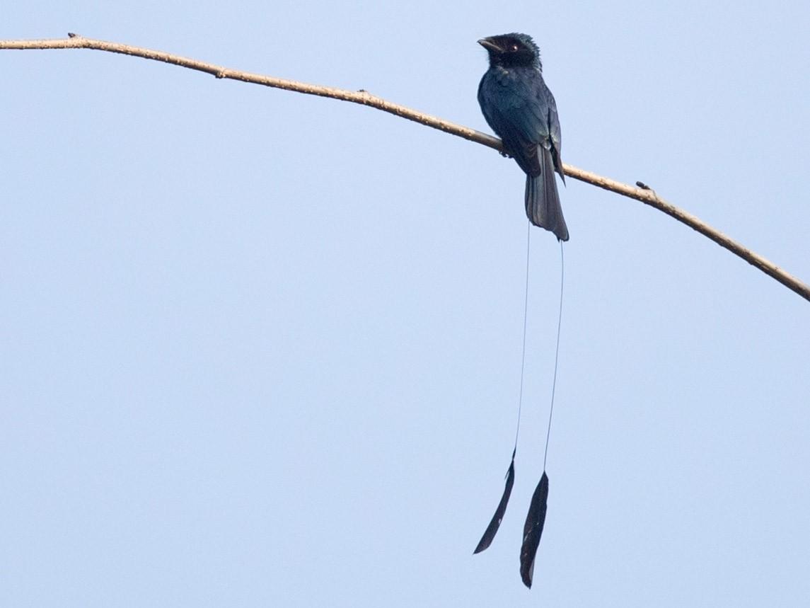 Lesser Racket-tailed Drongo - Ian Davies