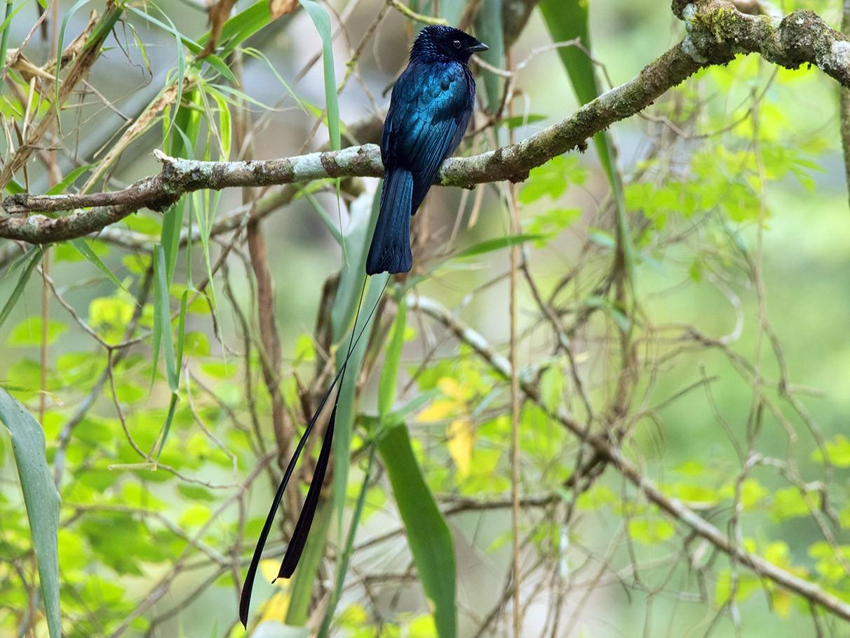 Lesser Racket-tailed Drongo - Ayuwat Jearwattanakanok