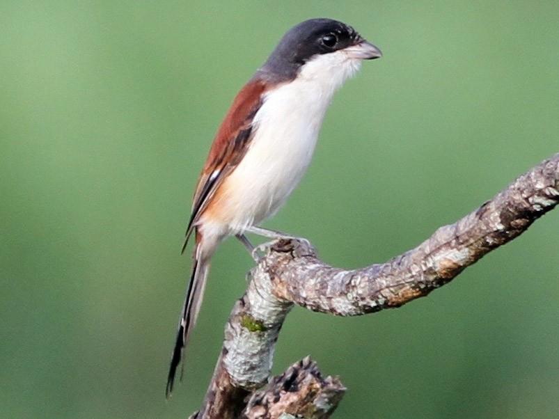 Burmese Shrike - Chris Wiley