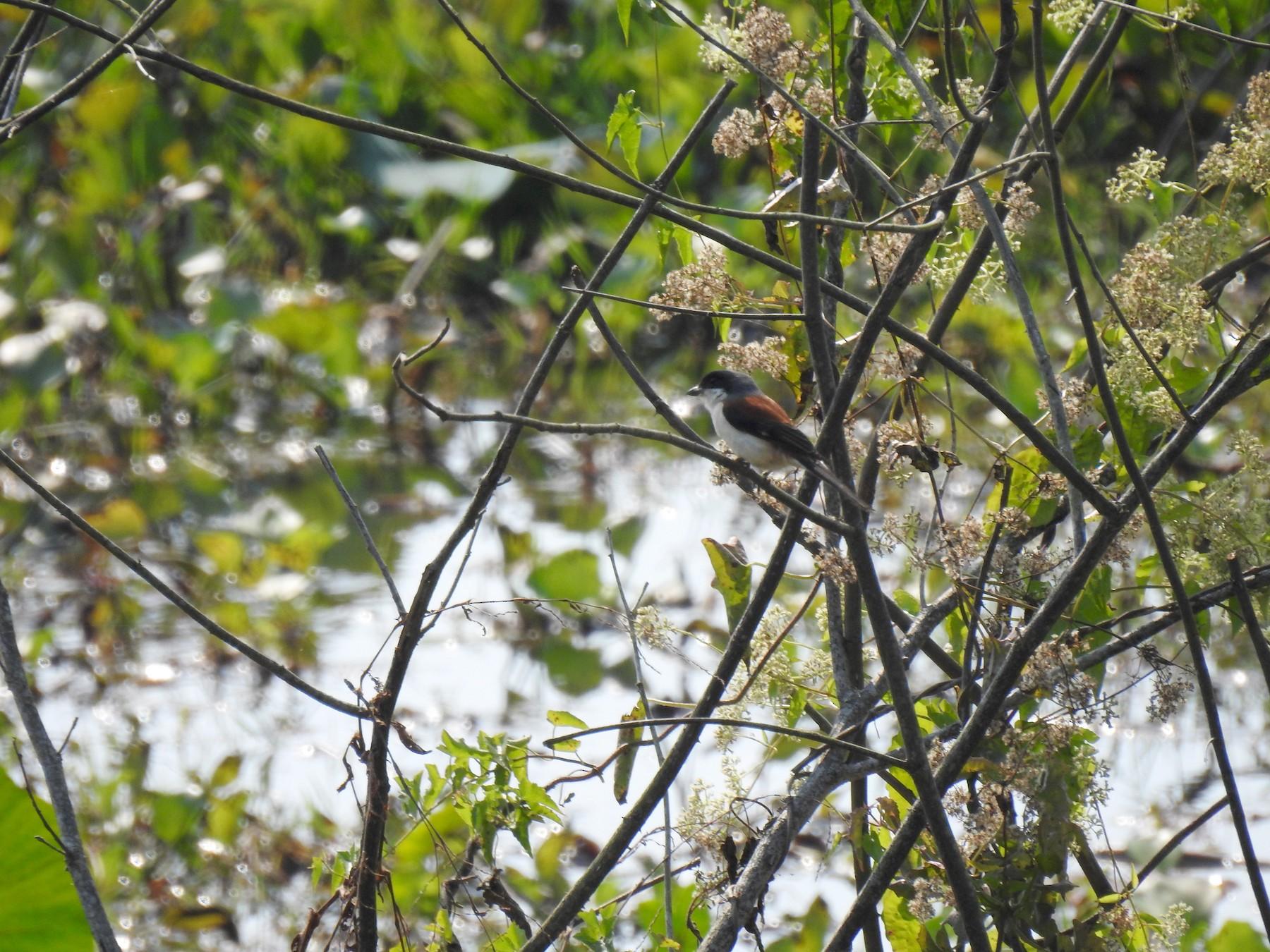 Burmese Shrike - David Ratcliffe