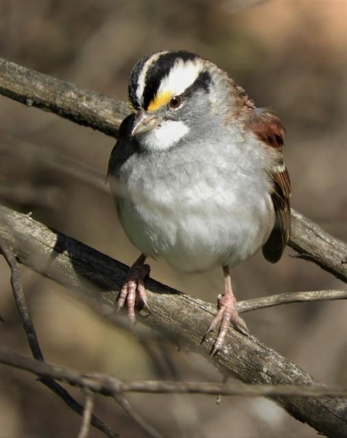 ©Paul McKenzie - White-throated Sparrow