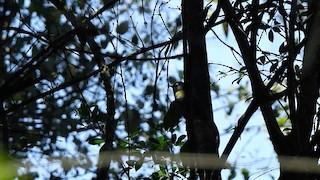 - Yellow-throated Mountain Greenbul