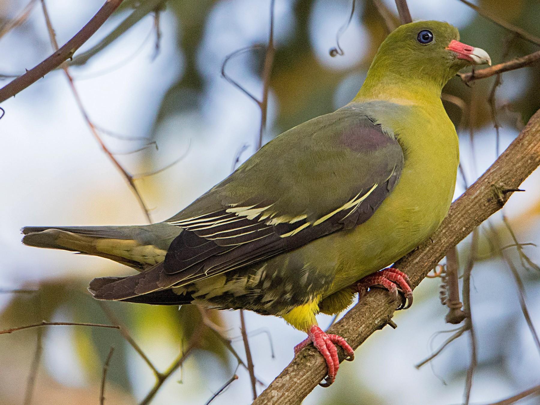 African Green-Pigeon - Bradley Hacker