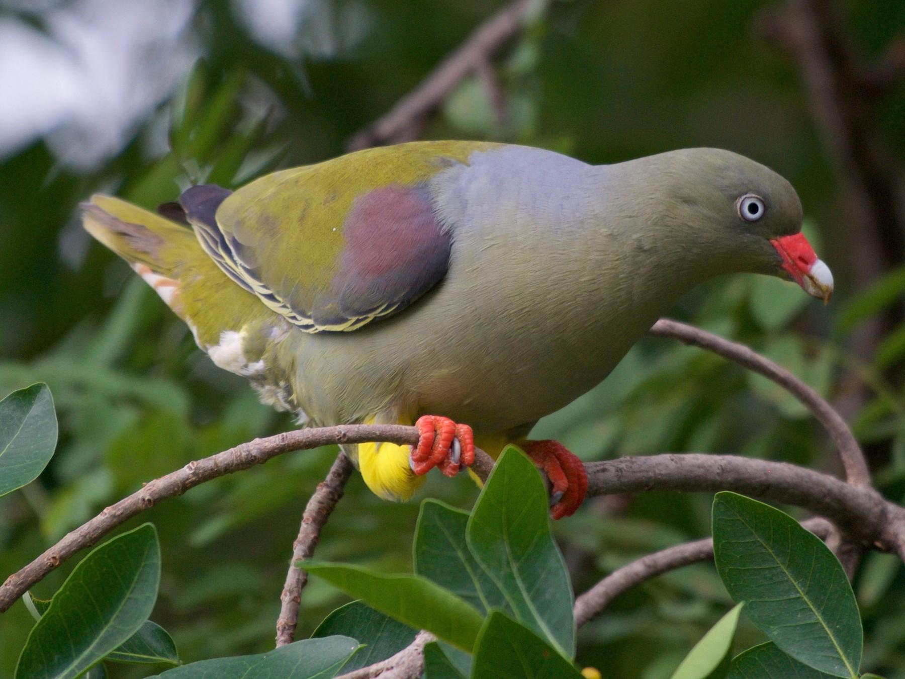 African Green-Pigeon - Christian  Nunes