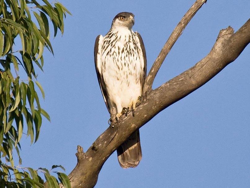 African Hawk-Eagle - Bruce Ward-Smith