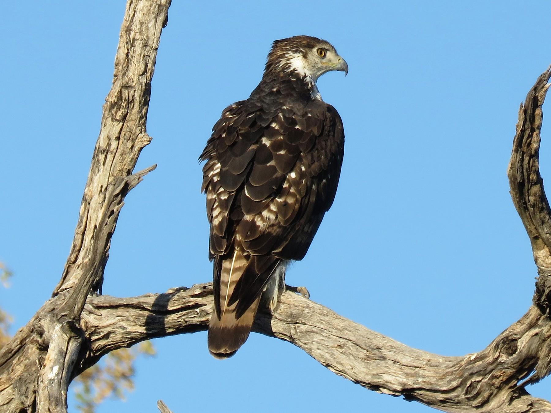 African Hawk-Eagle - Linda Hayes