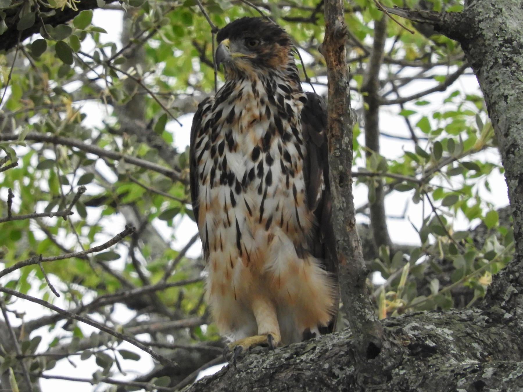 African Hawk-Eagle - Anonymous