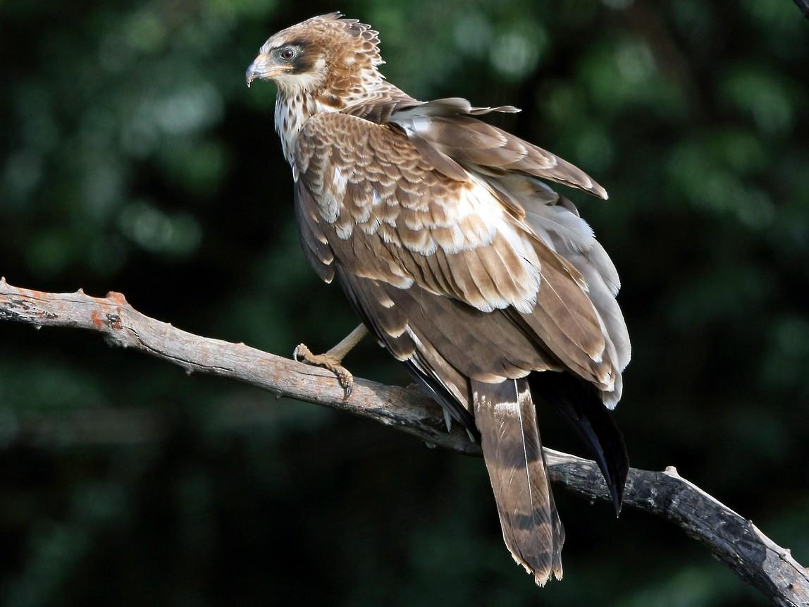 African Harrier-Hawk - Nigel Voaden