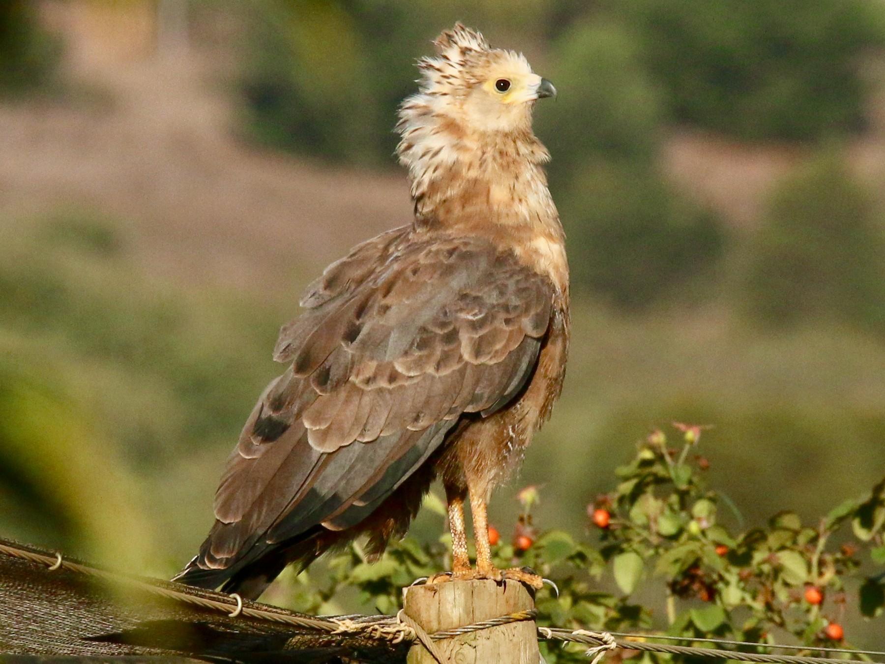 African Harrier-Hawk - Krista Oswald