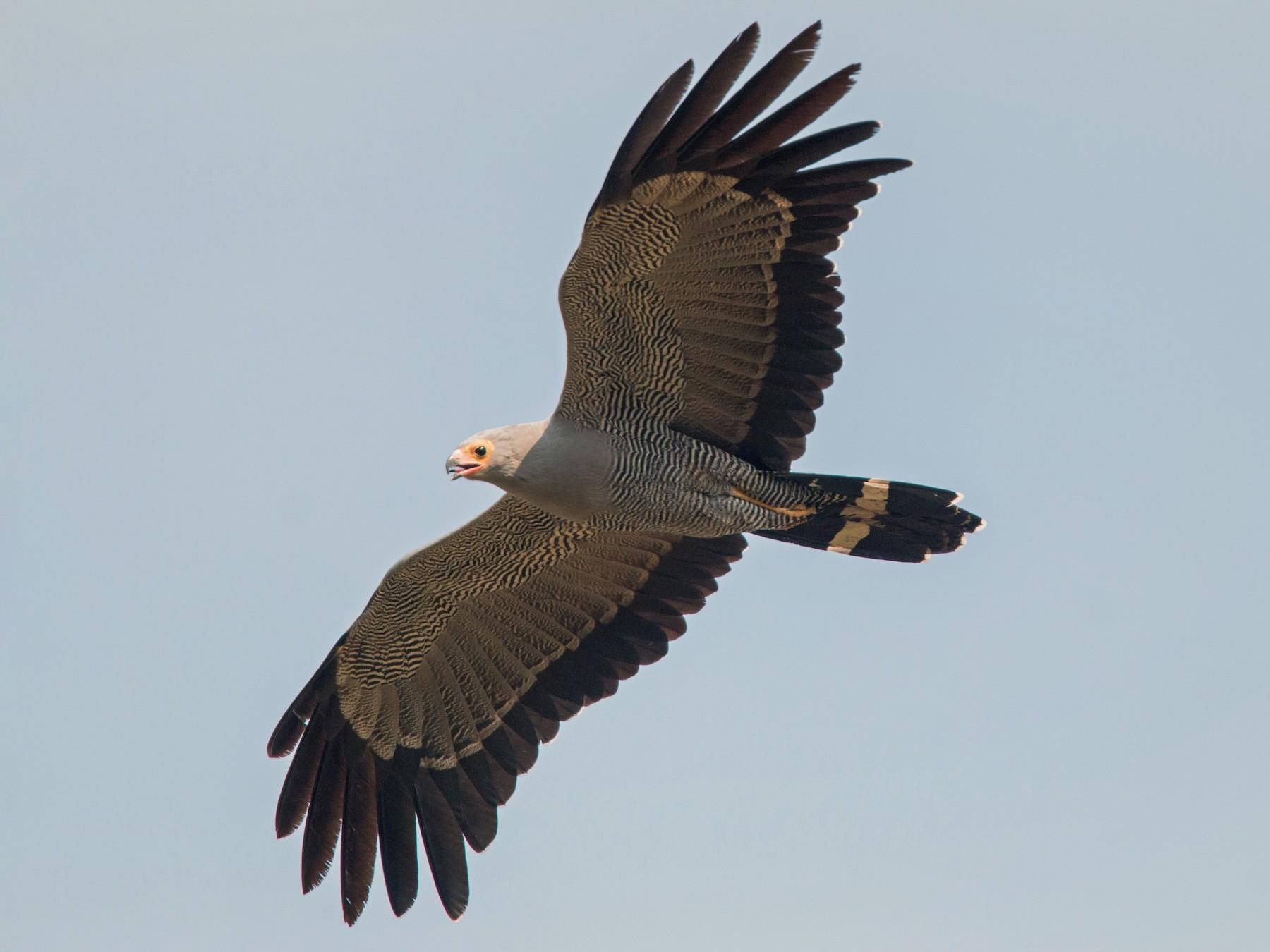 African Harrier-Hawk - Ian Davies