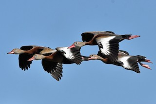 Black-bellied Whistling-Duck, ML186670611