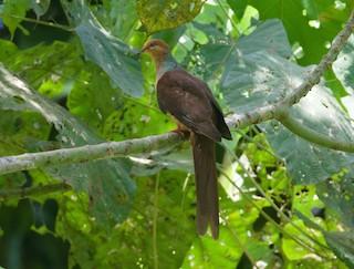 Amboyna Cuckoo-Dove