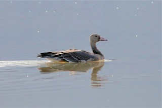 Greater White-fronted Goose, ML186799611