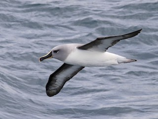 - Gray-headed Albatross