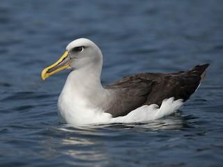 - Buller's Albatross