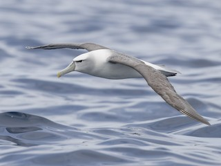 - White-capped Albatross